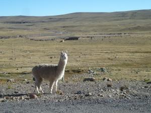 Alpakka Nummer 1, ein echtes Erlebnis